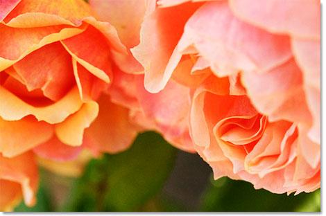 Rosedance_2